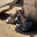 職場の子猫の生活 時々大人猫