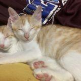 子猫の寝顔見たら必ず癒される写真大全
