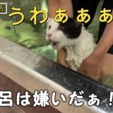 お風呂嫌いのねこをお風呂に入れたらバーサク状態になった。
