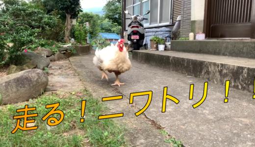 走るニワトリ サン子ちゃん!
