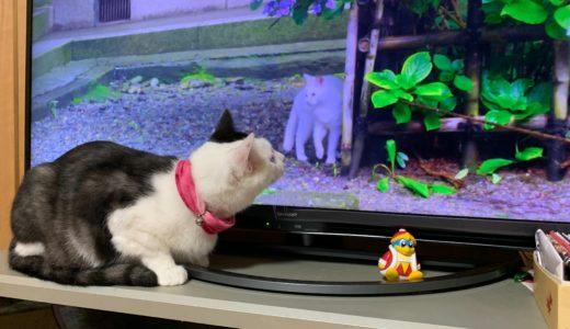 『岩合光昭の世界ネコ歩き』を毎週欠かさず見るねこ